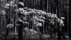 Spring in the forest. Young foliage. Monochrome. (ALEKSANDR RYBAK) Tags: лес деревья листва весна сезон погода утро солнечно свет тени пейзаж природа nature forest trees foliage spring season weather morning sunny shine shadows landscape