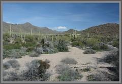 (|) Sonoran Desert Flora Panorama - IV. (|) (Wolverine09J ~ 1.8 Million Views) Tags: saguaronationalpark landscape panoramic westernmountaindistrict sonorandesert nature cacti overlook latewinter flora southernarizona wilderness hills pristine autofocuslevel01 dreamsilldream autofocuslevel02