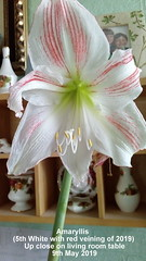 Amaryllis (5th White with red veining of 2019) Up close on living room table 9th May 2019 (D@viD_2.011) Tags: amaryllis living room table 9th may 2019