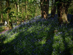 Bloxworth, Dorset (a.pierre4840) Tags: olympus omd em10 mzuiko 25mm f18 forest flowers woodland bluebells shadows dof depthoffield dorset england