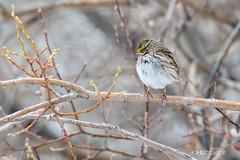 _BDW7564 (Bruce Walter) Tags: birds wildlife savannahsparrow savannah sparrow grasslands canada merrittbc merritt getoutside getoutandplay nikonca nikon nikon200500