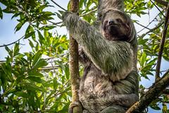 Alert Mom and Baby Sloth (helenehoffman) Tags: mother costaricapanama2019 costaricantrails conservationstatusleastconcern arenalvolcanonationalpark uncruiseadventures mammal costarica bradypusvariegatus motherandchild arboreal sloth 3toedsloth brownthroated3toedsloth animal