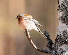 Fringilla coelebs (laurilehtophotography) Tags: suomi finland leivonmäki kansallispuisto nationalpark bird birding nature spring kevät luonto finch birch tree bokeh nikon d750 nikkor 200500mm morning wildlife amazing europe