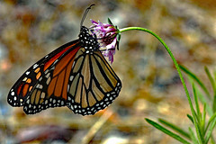 MONARCH BUTTERFLY ! (Uhlenhorst) Tags: 2010 australia australien animals tiere travel reisen coth coth5