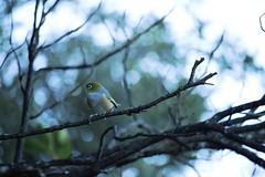 apparently it's winter already (kattabrained) Tags: zosteropslateralis waxeye silvereye newzealandbirds