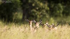 Impala - Kruger National Park (BenSMontgomery) Tags: impala kruger national park long grass dont go satara south africa wildlife safari antelope