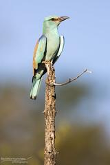 European Roller - Kruger National Park (BenSMontgomery) Tags: european roller kruger national park sunset safari turquoise bird south africa skukuza