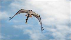 (c)WMH_2019_05_02_2660 Osprey with Fish (WesleyHowie) Tags: redbridgepond canada location dartmouth novascotia wildlife birds raptors osprey