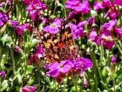 Coincidentally (Robert Cowlishaw (Mertonian)) Tags: ineffable beauty beautiful awe wonder parasophia pink colours colors mertonian robertcowlishaw wings butterfly lunchstroll spring2019 joy gratitude canon powershot sx70hs canonpowershotsx70hs