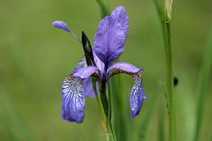 IRIS (K.Verhulst) Tags: iris lis plants plant flower bloem natuur nature