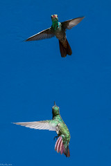 Pas de deux (Fred Roe) Tags: nikond7100 nikonafsnikkor200500mm156eed nature naturephotography national wildlife wildlifephotography animals birds birding birdwatching birdwatcher birdinflight hummingbird colors outside flickr flicker panama