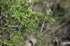 PILT4127 (ottmaasikas) Tags: jäälind alcedo atthis kingfisher