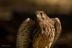 junger Turmfalke (wernerlohmanns) Tags: natur vögel falken turmfalke greifvögel fleischfresser bisstöter schärfentiefe sigma150600c d7200 nikond7200