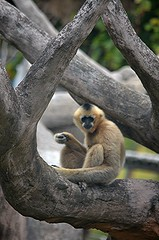 Long armed female White Cheeked Gibbon peering at me from tree (jungle mama) Tags: monkey miamizoo ford collins metrozoo blondmonkey velvetmonkey tree blond naturethroughthelens