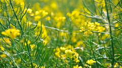 Associated (Szymon Karkowski) Tags: outdoor nature rape green yelow agriculture cobweb thread flowers bokeh opole voivodeship czerwonków poland nikon d7100