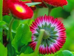 Flowers (L@nce (ランス)) Tags: macro micro nikkor nikon flowers flower victoria bc canada jamesbay