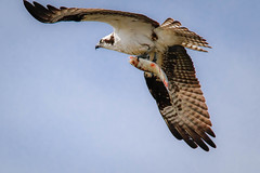 Bringing Home a Fish (lablue100) Tags: fish bloody catch fishing osprey birdsofprey wings talons large nature hungry flying flight