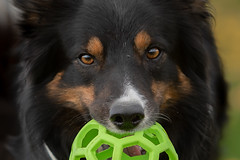 my eyes (Flemming Andersen) Tags: animal bordercollie yatzy ball dog vejleøst regionofsoutherndenmark denmark