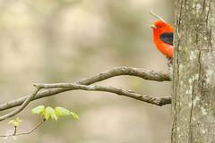 Scarlet Tanager - 1141 (NWPaddler) Tags: 200mmzoom 2019 birds nikon pa pennsylvania scarlettanager spring backyard lowlight