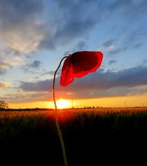IMG_0043x (gzammarchi) Tags: italia paesaggio natura pianura campagna ravenna villanovadiravenna tramonto fiore papavero
