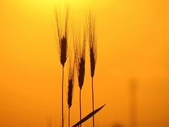 IMG_0029x (gzammarchi) Tags: italia paesaggio natura pianura campagna ravenna villanovadiravenna tramonto grano spiga monocrome