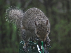 Grey Squirrel Raiding The Bird Feeder Station IMG_2205 (Ted_Roger_Karson) Tags: northernillinois squirrelseries handheldcamera squirrelfoodquarrel northern illinois grey squirrel hand held camera canon powershot sx280 hs snow back yard feeder friends miniature compact pocket seed cake zoom animals suet telephoto thisisexcellent twop test photo minicompact food canonpowershotsx280hs miniaturecompactpocketcamera