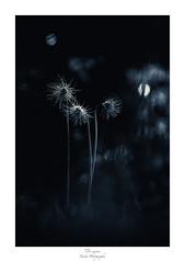 Les têtes brûlées (Naska Photographie) Tags: naska photographie photo photographe paysage proxy proxyphoto printemps macro macrophotographie macrophoto minimaliste minimalisme monochrome matin anémone pulsatille flare flower bokeh color couleur