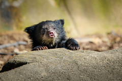 Gimme a Bottle! (Eric Tischler) Tags: baby sloth bear cub young cleveland ohio zoo