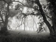 Hunting Hollow Fog Series 5 (StefanB) Tags: 1235mm 2019 californa em5 fog henrycoe hiking mood tree treescape huntinghollow statepark outdoor