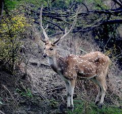 A male Chital (Axis axis),also known as spotted deer, pauses on dry land, allowing a decent portrait opportunity (Ron Fredrick) Tags: spotted deer