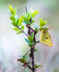 yellow (Florian Grundstein) Tags: macro closeup insect butterfly nature natural plant green yellow upperpalatinate bavaria oberpfalz bayern heimat makro schmetterling insekten nahaufnahme details