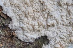Phlebia rufa; sokkelorypykkä (urmas ojango) Tags: seened fungi polyporales torikulaadsed meruliaceae phlebia vammik phlebiarufa sokkelorypykkä