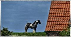 Pferd auf dem Deich