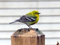 Pine warbler--Explored (yooperann) Tags: setophaga pinus fence post upper peninsula michigan migration breeding birds new world warblers