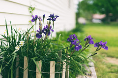 Iris (Sarah Rausch) Tags: 50mm 18 sony fencefriday bokeh purple iris flower
