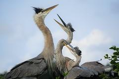Juvenile great blue herons fighting for food (arielfischer) Tags: greatblueheron ardeaherodias kanadareiher garzaazulada grandhéron aironeazzurro большаяцапля garçaazulgrande garzaazul garzón
