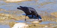 Crows Like Sushi Too (Kaptured by Kala) Tags: americancrow crow corvusbrachyrhynchos whiterocklake dallastexas spillway fish eating feeding closeup upperspillway sushi scavenger belowme