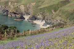 Spring in Cornwall (phileveratt) Tags: cornwall lanticbeach greatlanticbeach lanticbay bluebells fence fencefriday fencedfriday happyfencefriday hff