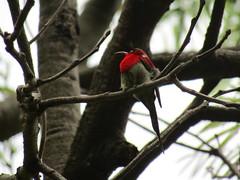 IMG_7929 resting sunbird (belight7) Tags: crimson sunbird bird tso pema india himachal nature forest rewalsar