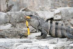 DSC05143 (Yellow Devil) Tags: 2019 centralamerica gadventures leclair mexico tour travel yucitan