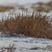 Tumbleweed - Rocky Mountain Arsenal National Wildlife Refuge - Denver, Colorado