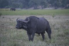 DSC_2755_1 (Marshen) Tags: capebuffalo botswana