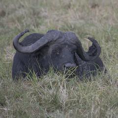 DSC_2754_1 (Marshen) Tags: capebuffalo botswana