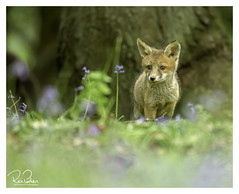 the litttle one (richgparkes) Tags: fox cub family bluebells nature wood animal spring