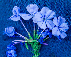 ME/CFS and Fibromyalgia International Awareness Day (risaclics) Tags: mecfs fibromyalgia international awareness day blue for you me 2019 smile saturday violet 60mmmacro may2019 nikond610d flora flowers hydrangea mecfsandfibromyalgiainternationalawarenessday blueforyoume2019 smileonsaturday