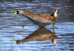 strolling sora (Ripley's fish planet) Tags: sora rail waterbird oregonbirds sorarail