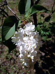 Lilac (Anna Gelashvili) Tags: пчела honeybee lilac сирень flower цветочки garden сад цветок flowers plant цветы ყვავილი ყვავილები ფოთლები soil растение leaf bright лист яркий macro