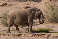 Desert Adapted Elephant (iamfisheye) Tags: 2018 olympus lens namibia namibiantrackstrails animal elephant hoanibriver zd50200mm mkii zuiko 50200mm exodus july 4wddesertsafari kit zd em1 camera