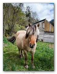 Pb_4300013 (calpha19) Tags: imagesvoyagesphotography adobephotoshoplightroom olympusomdem1mkii zuiko ed1260swd printemps 2019 animalier animal animaux cheval labresse vosges grandest ngc flickrsexplore
