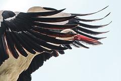 MKK_5942 (Marcin Krawczyk) Tags: stark animal birds